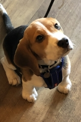 Charlie the puppy beagle waiting for his liver cake