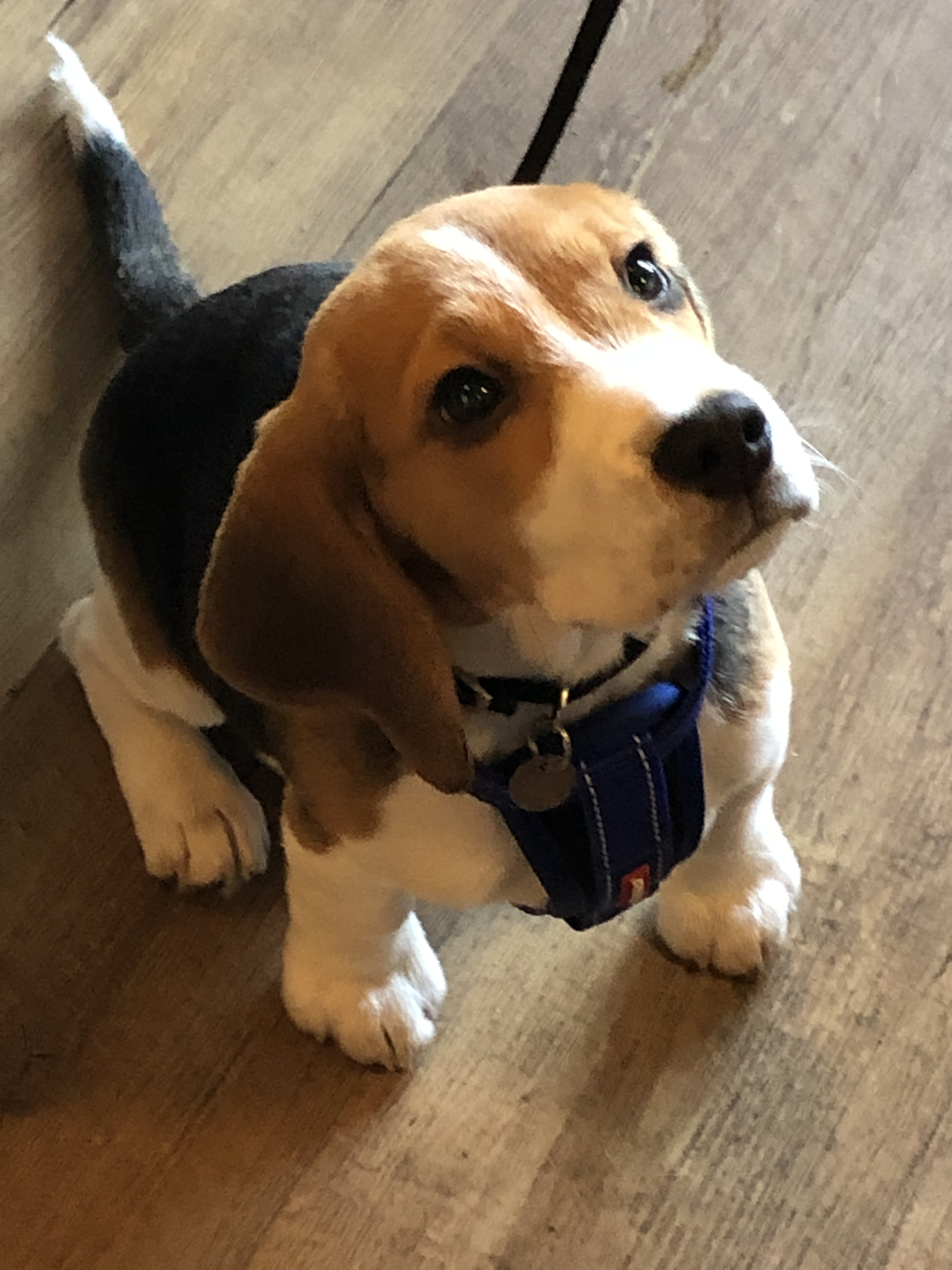 Charlie-the-puppy-beagle-waiting-for-his-liver-cake